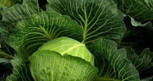 Фермеры-Туркестанской-области-предлагают-забрать-капусту-бесплатно