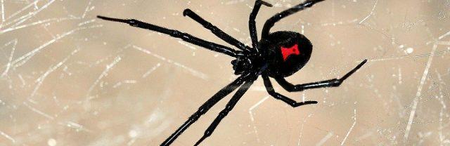 Как-Человек-паук:-дети-спровоцировали-Черную-вдову-укусить-их