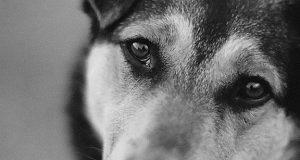 В-Бесколе-живодеры-пытались-убить-собаку-для-лечения-туберкулеза