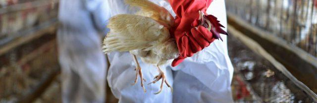 Птичий-грипп-обнаружили-на-границе-с-Россией