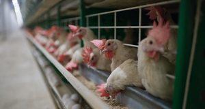 В-СКО-начали-строительство-новой-птицефабрики