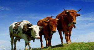 Фермеры-могут-застраховать-КРС-от-болезней-и-других-рисков