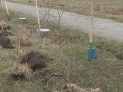 Конфессияаралық-келісім-аллеясында-алғашқы-30-қайың-көшеті-отырғызылды