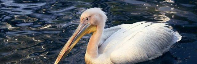 Розового-пеликана-приютили-в-Ботаническом-саду-Петропавловска