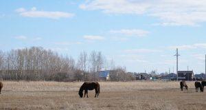 В-СКО-скотокрады-похитившие-40-лошадей-могут-получить-тюремный-срок